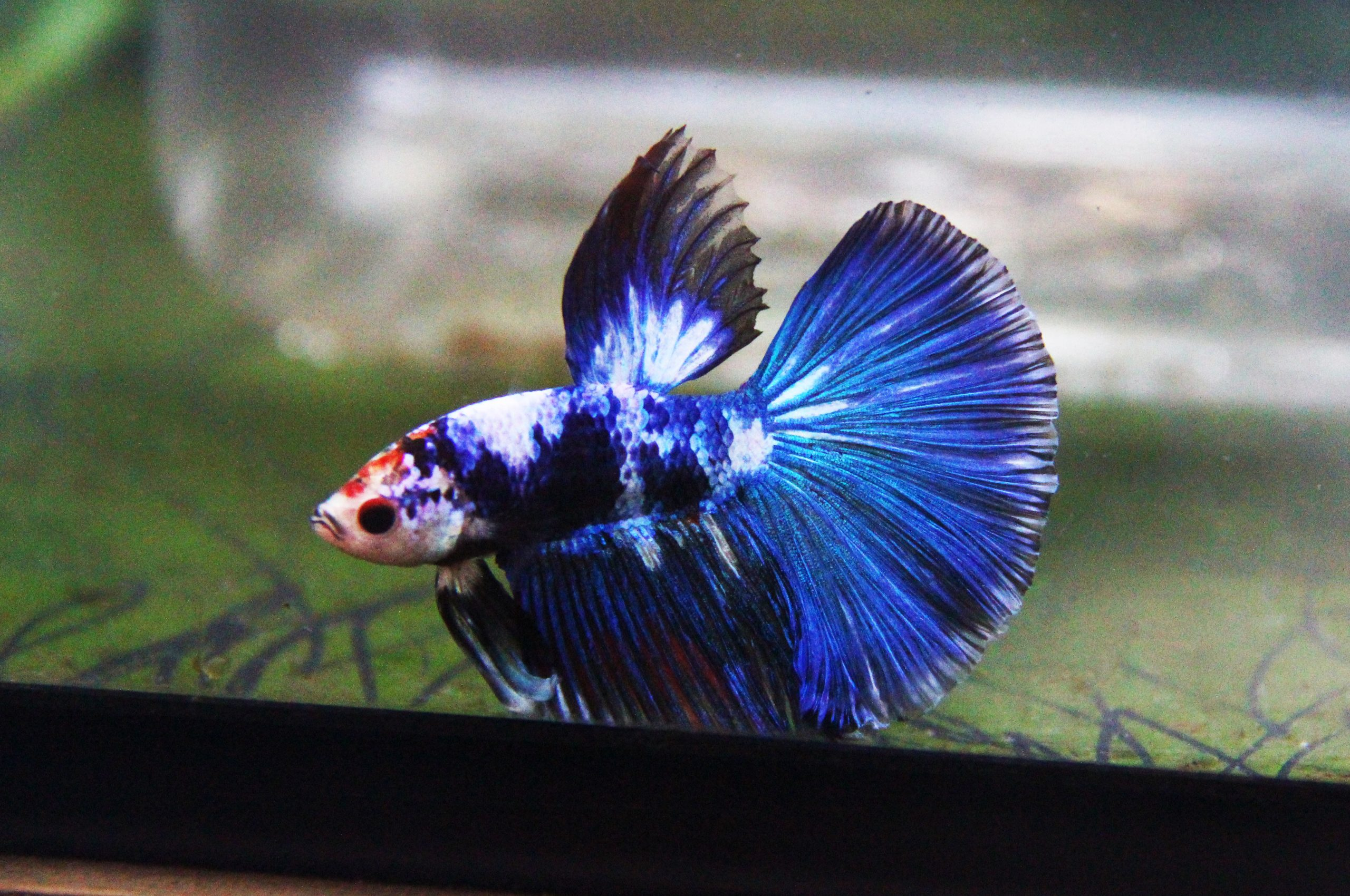 The Blue Marble Halfmoon Betta