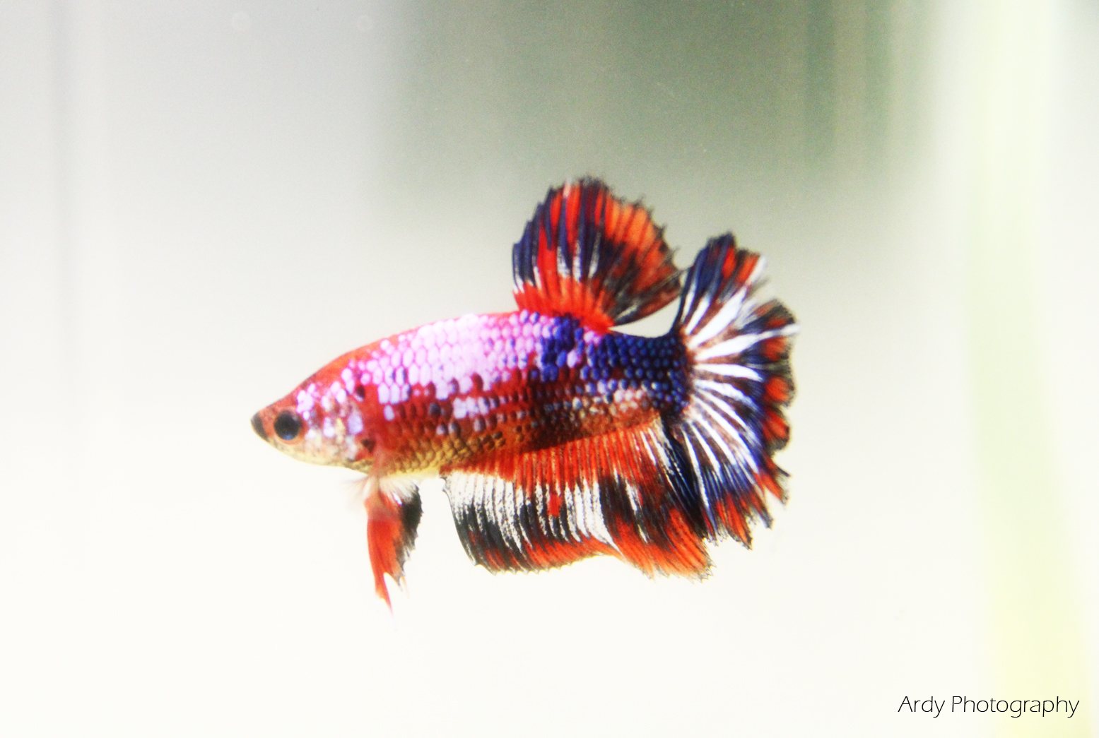 Conditioning the Female Betta