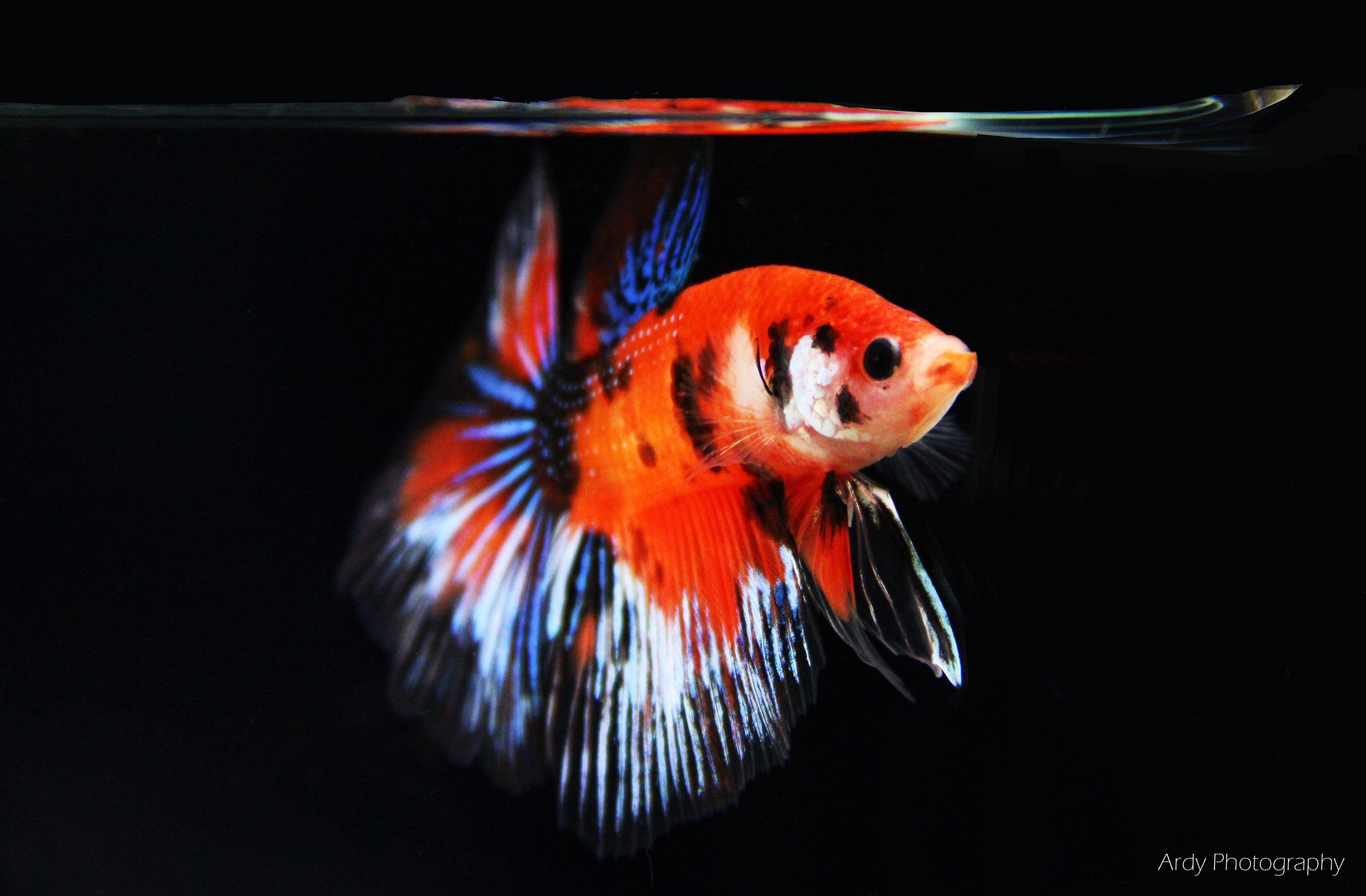Breeding the Orange Galaxy Koi Halfmoon Betta