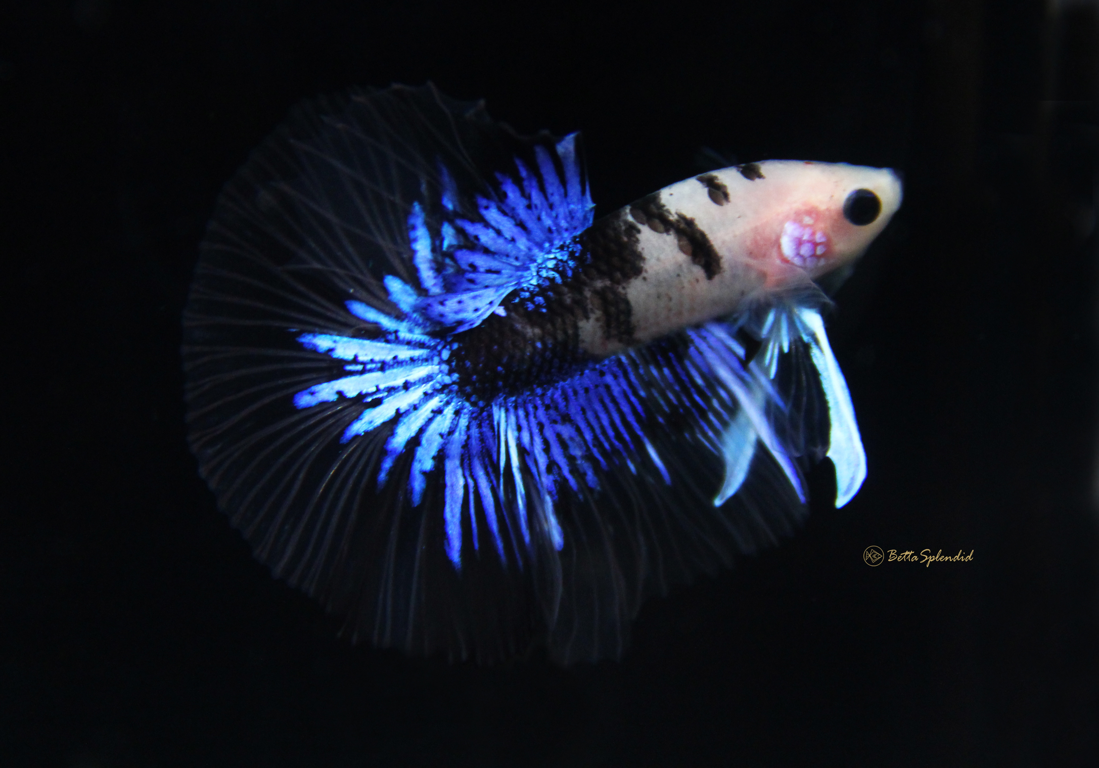Rare Betta | Rare Sapphire Blue Koi Halfmoon Betta Released Bettasplendid Com