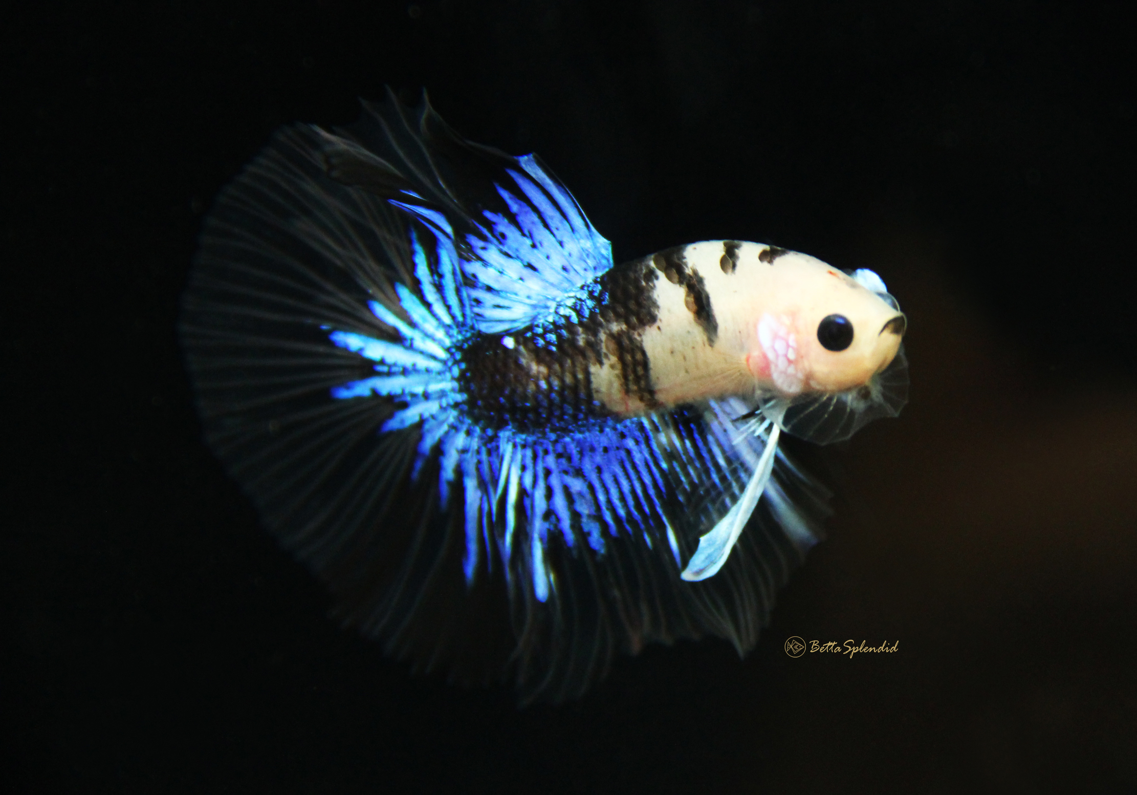 Rare sapphire blue koi halfmoon betta released for Rare koi fish