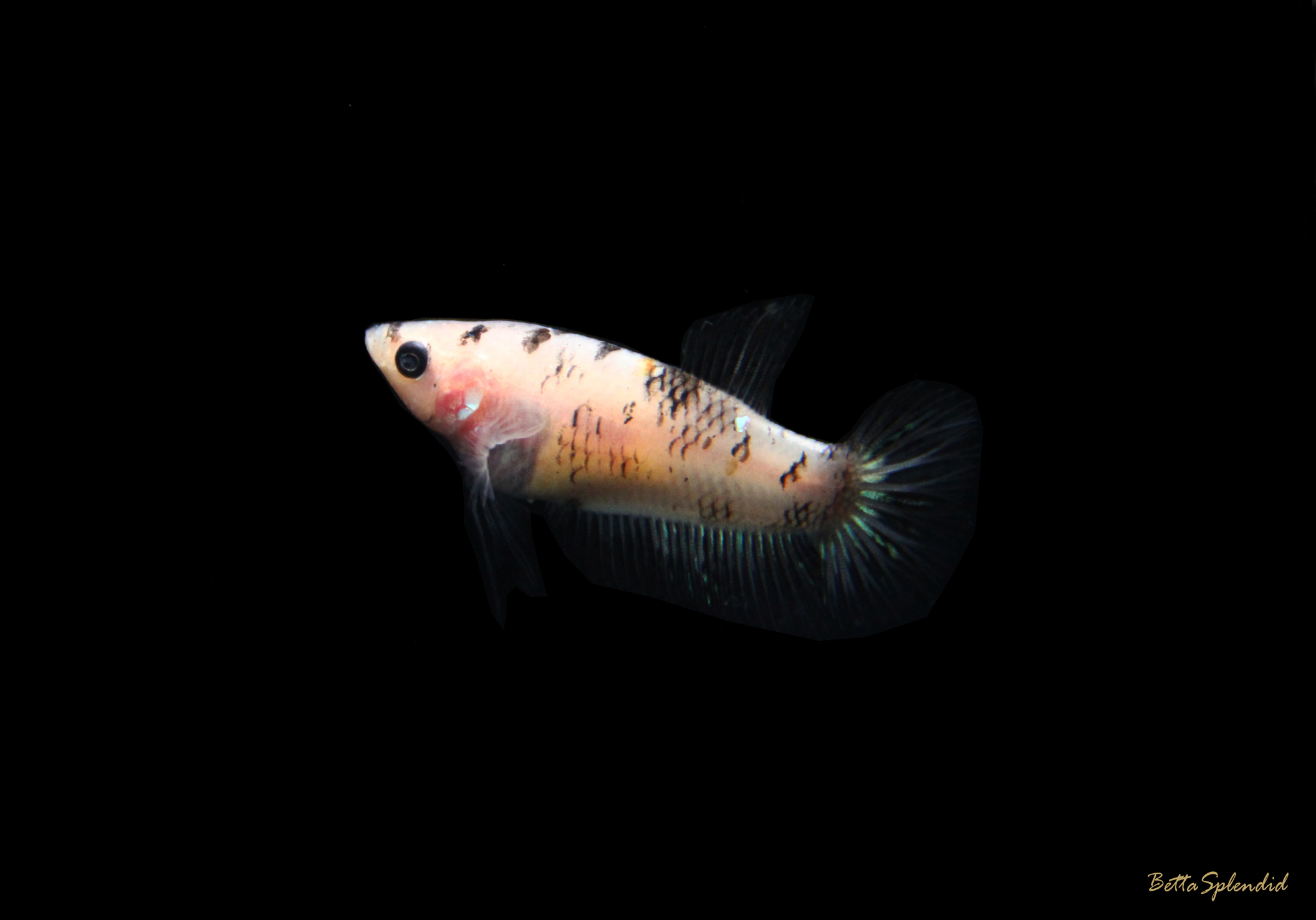 Black white koi female halfmoon betta released for Black white koi