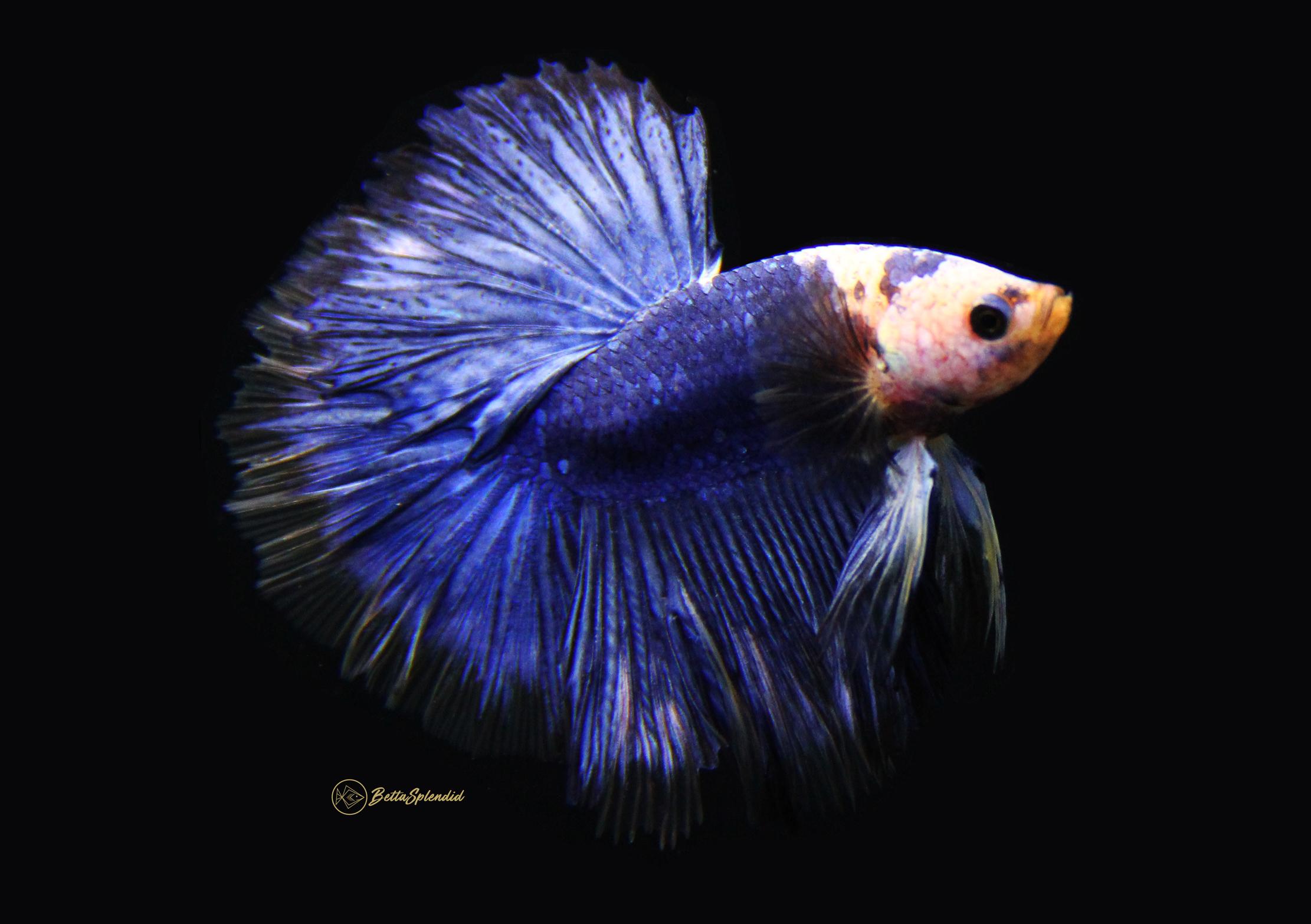 Blue Marble Halfmoon Betta Released Bettasplendid Com