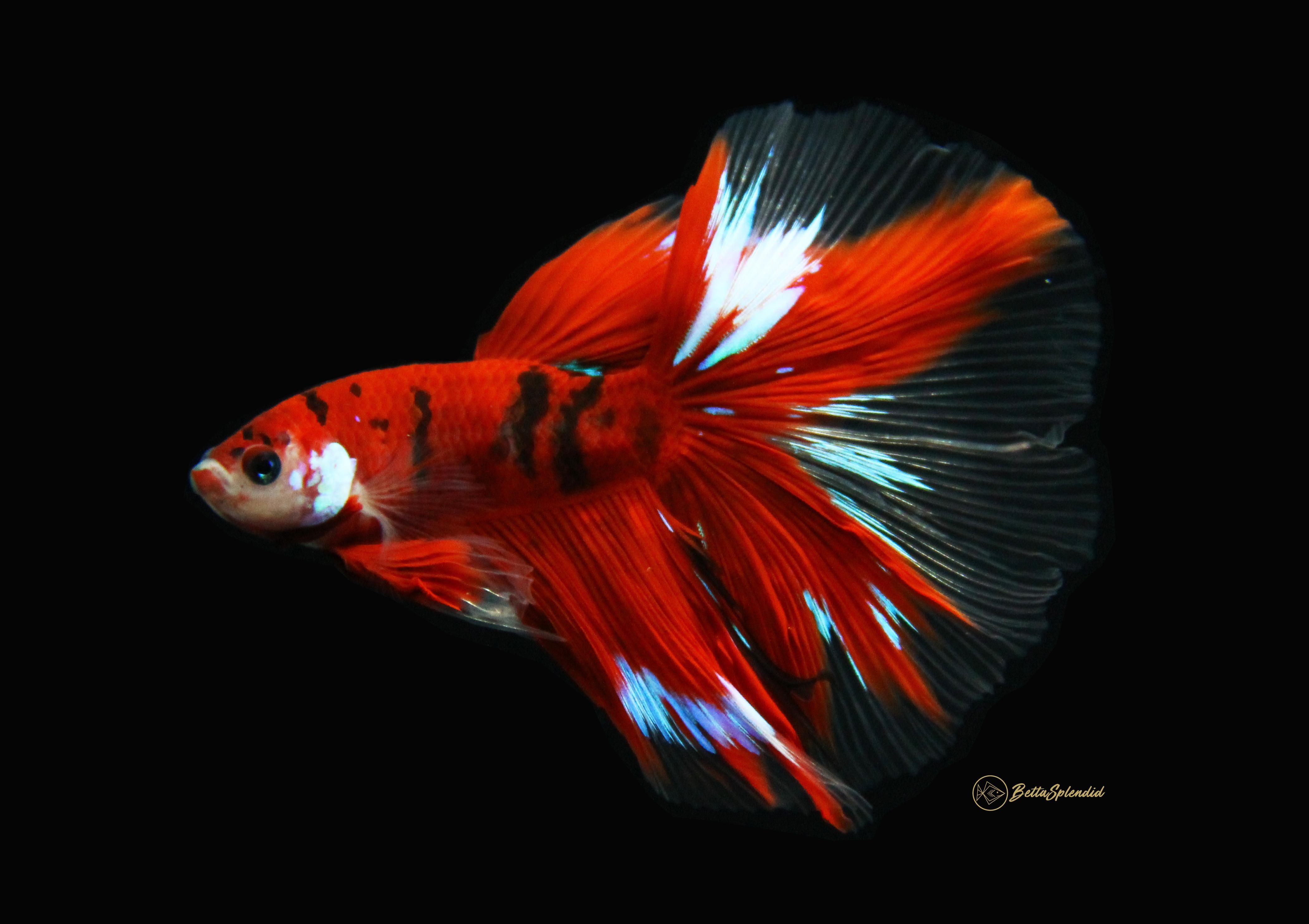 Deep crimson koi halfmoon betta released for Red koi fish