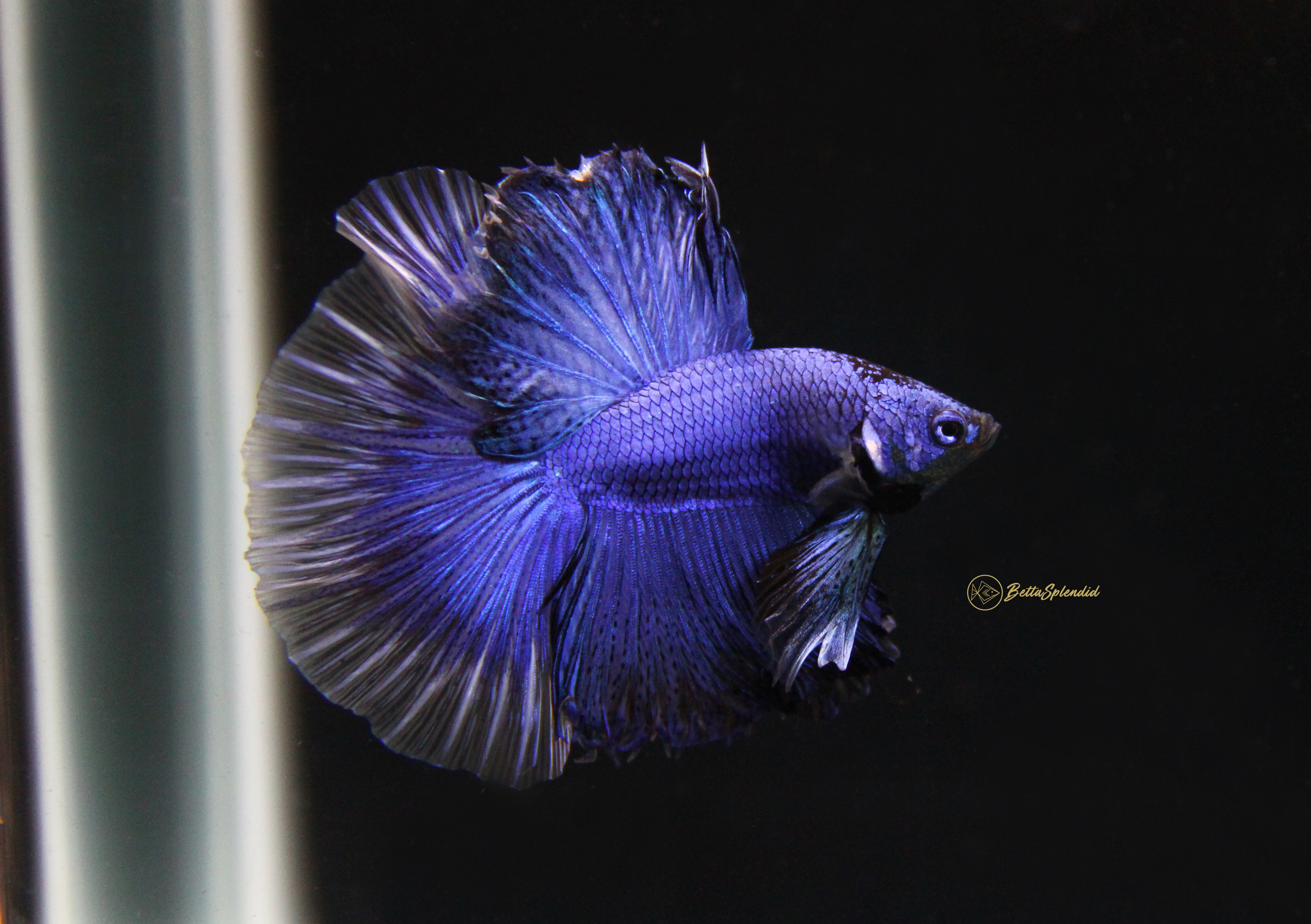 tristan royal blue halfmoon betta released bettasplendid com