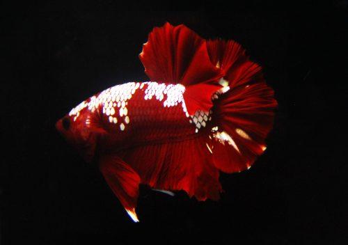 Deep Red Metallic Spartan HMPK Betta