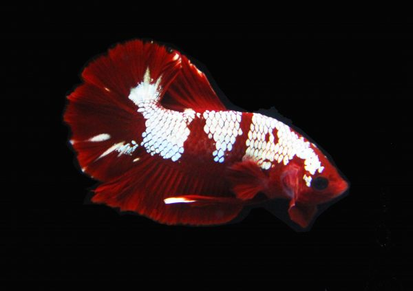 Deep Red Metallic Spartan HMPK Betta